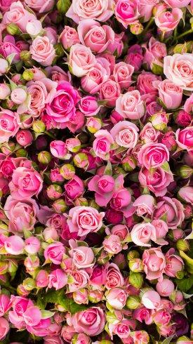 عکس زمینه دسته گل های رز صورتی زیبا