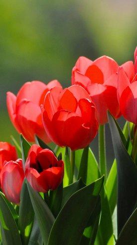 عکس زمینه باغ گل های لاله قرمز رنگ