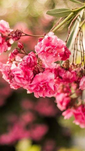 عکس زمینه گلهای صورتی فلورا زیبا
